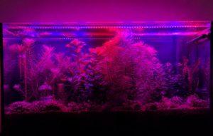 Acquario viola