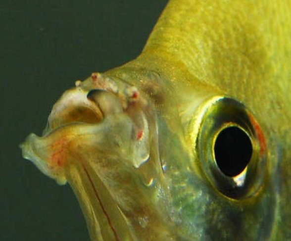 Sintomi micobatteriosi pesci