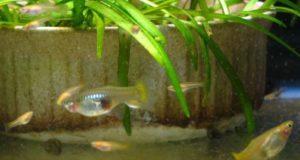 Guppy mangiano artemia