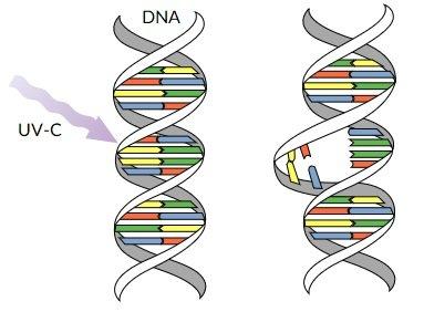 Effetto UV-C su DNA