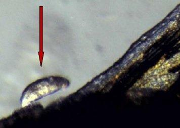 Gyrodactylus sulla pelle di guppy