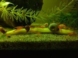 Lumache in un acquario naturale