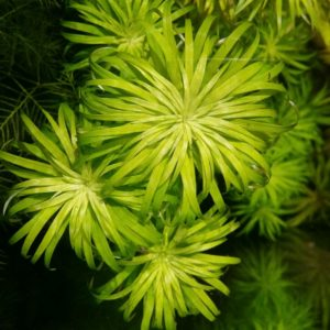 Syngonanthus macrocaulon