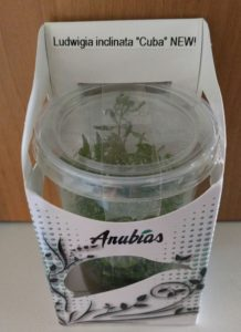 "Ludwigia ""Cuba"" in vitro."