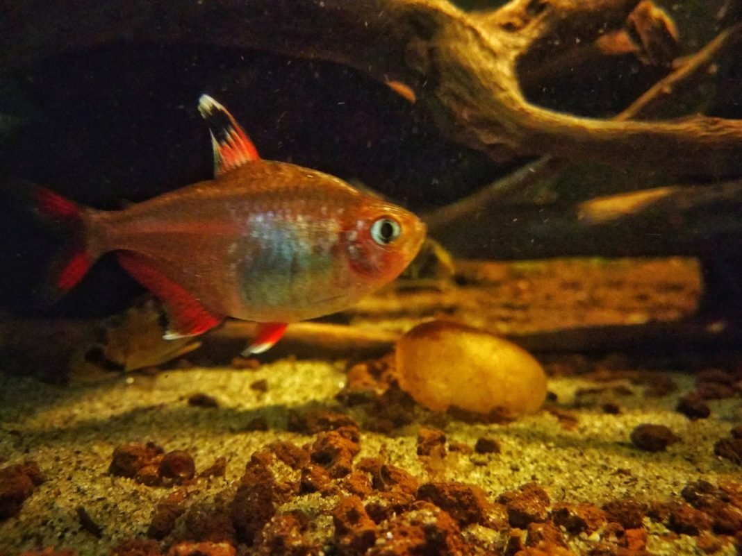 """Hyphessobrycon bentosi """"White fin"""" (ex H. ornatus)"""