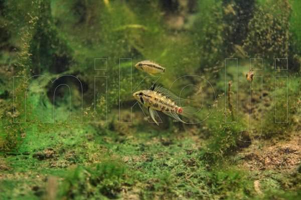 Apistogramma hongsloi nel suo habitat naturale.