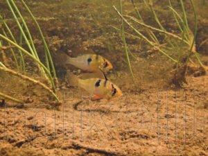 Coppia di M. ramirezi nel loro habitat naturale.