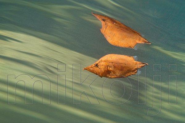 Pesce Foglia selvatico