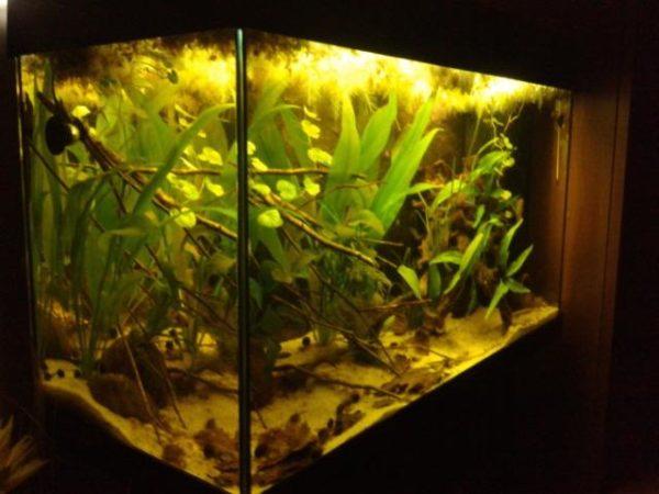 Acquario in cui ho allevato e riprodotto A. trifasciata 'Guaporé'