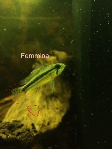 Apistogramma bitaeniata femmina