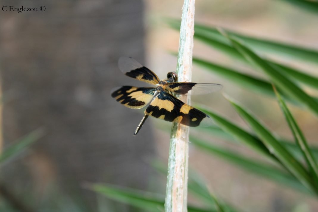 Rhyothemis variegata