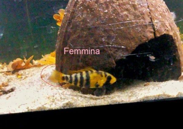 Apistogramma baenschi femmina