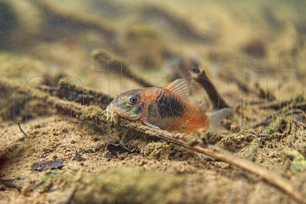 Corydoras aeneus nel suo habitat naturale