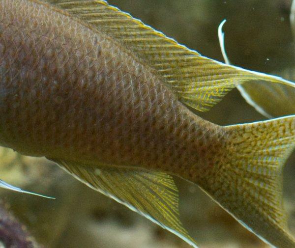 Squame Neolamprologus brichardi