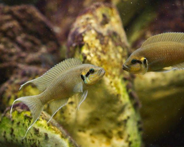 Neolamprologus brichardi che si sfidano