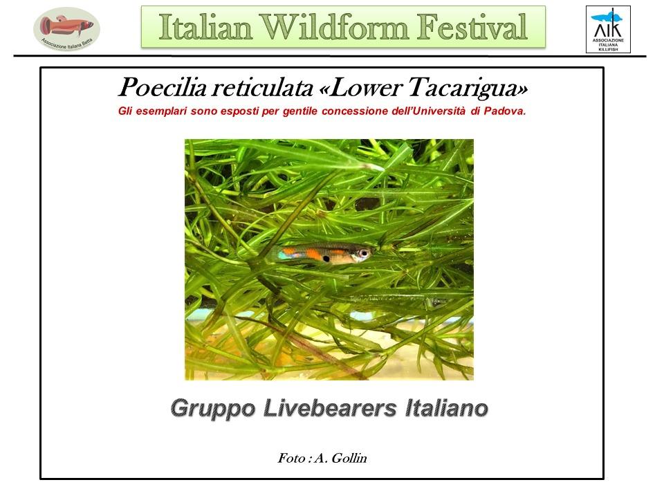 "Poecilia reticulata ""Lower Tacarigua"""