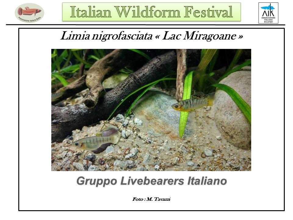 """Limia nigrofasciata """"Lac Miragoane"""""""