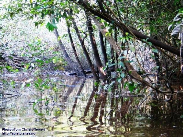 Habitat di A.bitaeniata, Rio Nanay