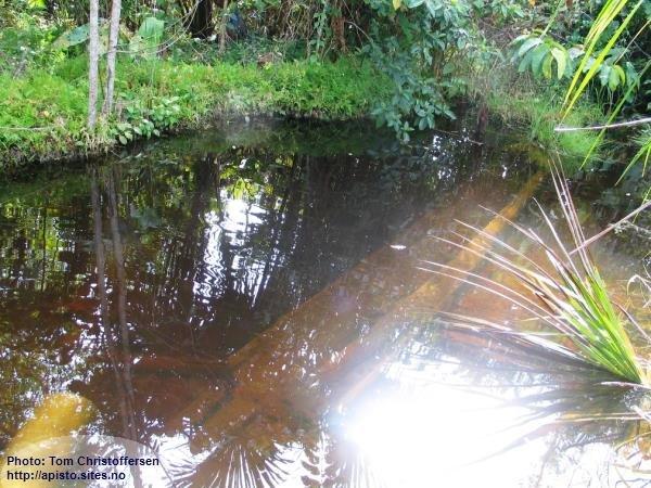 Habitat A.bitaeniata, Rio Amiyacu-dreinage