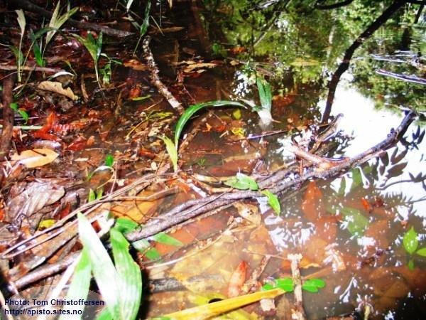 Habitat A.bitaeniata, Rio Nanay