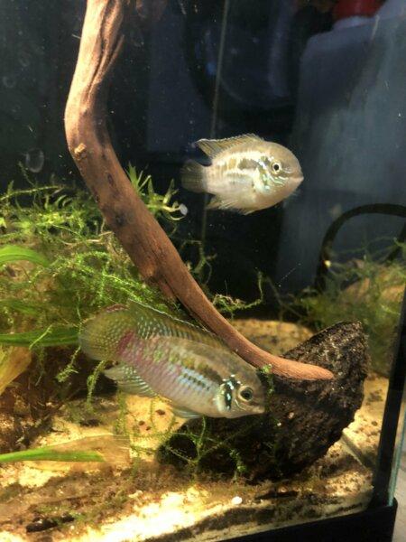 Maschio e femmina di Laetacara araguaiae