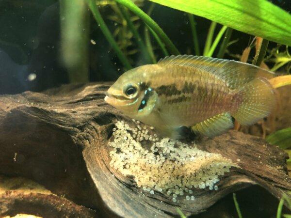 Deposizione Laetacara araguaiae